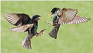 Starlings (Sturnus Vulgaris)