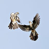 Common Cuckoos Fighting