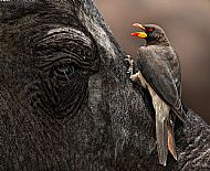 John R Simpson Award<br>Yellow Billed Oxpecker