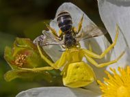 Yellow Crab Spider & Prey