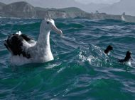 Wandering Albatross at Rest