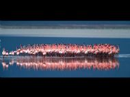 Lesser Flamingo Courtship Display