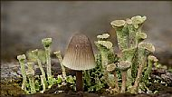 Runner Up<br>Pixie Cup Lichen And Angels Bonnet