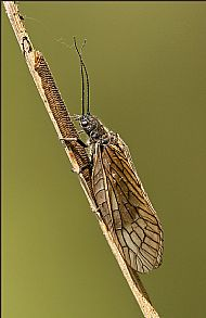Alderfly Laying Eggs