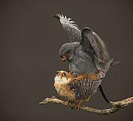 Robert Fulton Award<br>Red-Footed Falcons Mating