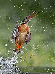 Launched - Common Kingfisher Female