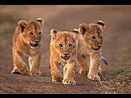 Kenyan Lion Cubs
