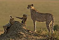 Best Wildlife Image<br>Cheetah Watching Over Cubs