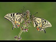 Nature, Silver Medal<br>Swallowtails