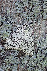 Best Image by a member of Dingwall Camera Club<br>Black Arches Moth