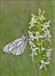 Authentic Wildlife<br>Black-veined White on Butterfly Orchid