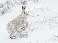 Best Wildlife Image<br>Mountain Hare In Snow