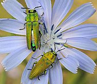 Bupestrid beetles