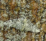 Peppered moth camouflage