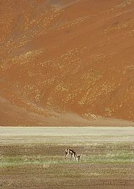 Springbok and Sand Dunes, Namibia