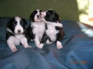 3week old bich pups born 28/1/2008