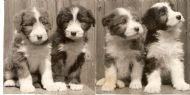 Am.Ch.B.Bard, B.Blackamoor (Holland), It.Ch.B.Bumbelina,Ch.B.Bathsheba at 8weeks old in 1973