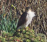 Peregrine falcon sitting on the rockery in the  garden