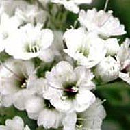 Snowflake Gypsophila
