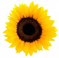 Sunflower (A)