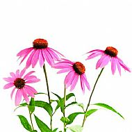Echinacea (P)
