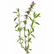 Hyssop (P)