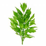 Lovage (P)