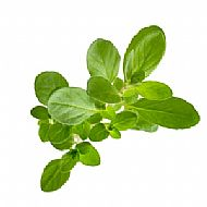 Marjoram (A)