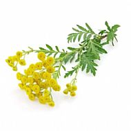Tansy (P)
