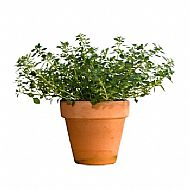 Thyme (P)