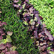 microgreen seeds...