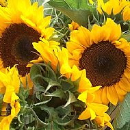 Sunflower Selection