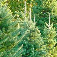 Xmas Tree Seed Collection