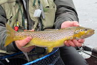 a loch boardhouse brown trout