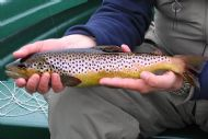 Toftingall Trout