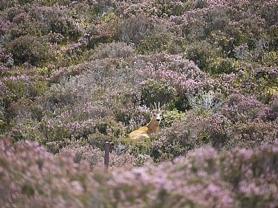 roe deer in the landscape