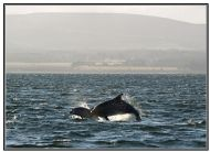 Dolphins in the Firth