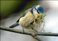 blue tit courtesy of norman tait