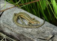 COMMON LIZARD sunning on wood