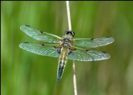 FOUR SPOTTED CHASER dragonfly sunning