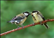 GREAT TIT feeding fledgling