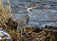 HERON at the Espedair Burn, Paisley photo by Peter Crawford