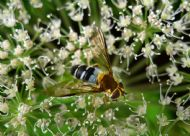 Hoverfly (Leucozona glaucia) photographed by John Maclean
