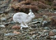 MOUNTAIN HARE in action