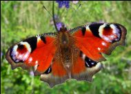 Peacock butterfly photographed by Claire Paterson