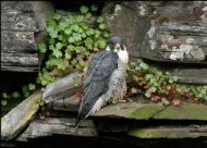 Female PEREGRINE FALCON at SWT Falls of Clyde Reserve