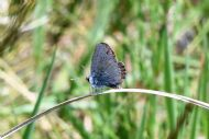 Small Blue showing underwings