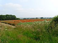 Poppies seen from Stanford Road