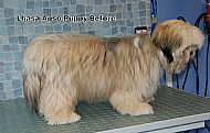 Lhasa Apso puppy - before
