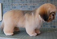 Lhasa Apso puppy - after